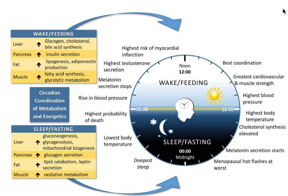 combining your fasting window with the bodies natural circadian rhythm